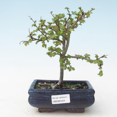 Outdoor bonsai-Ulmus parviflora-Small-leaved clay VB2020-554