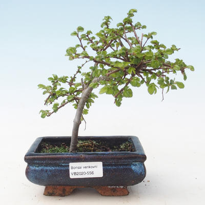 Outdoor bonsai-Ulmus parviflora-Small-leaved clay VB2020-556