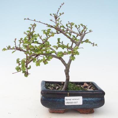 Outdoor bonsai-Ulmus parviflora-Small-leaved clay VB2020-557