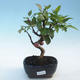 Outdoor bonsai - Malus halliana - Small-fruited apple tree - 1/5