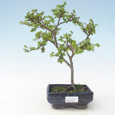 Outdoor bonsai-Ulmus parviflora-Small-leaved clay VB2020-558