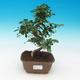 Outdoor bonsai - Japanese apricot - Prunus Mume - 1/6