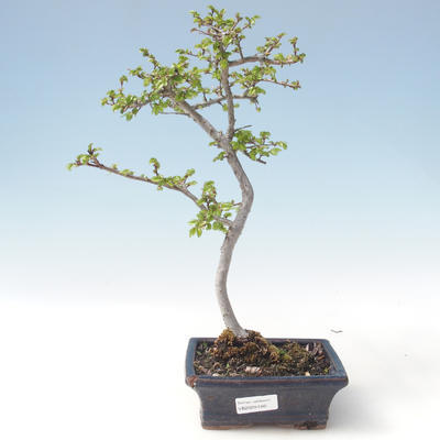 Outdoor bonsai-Ulmus parviflora-Small-leaved clay VB2020-560