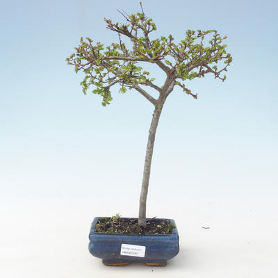 Outdoor bonsai-Ulmus parviflora-Small-leaved clay VB2020-561
