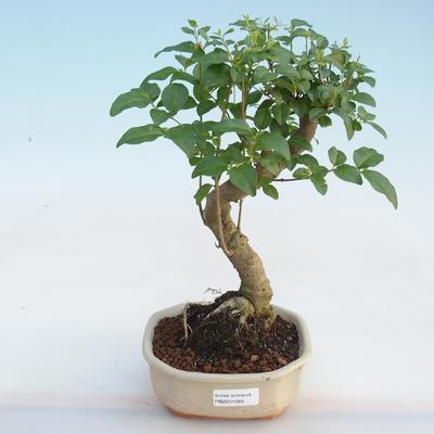 Indoor bonsai -Ligustrum chinensis - Bird's beak