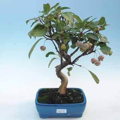 Outdoor bonsai - Malus halliana - Small-fruited apple tree - 1