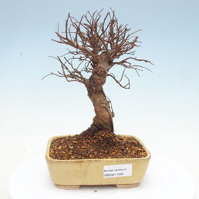 Outdoor bonsai - Zelkova - Zelkova NIRE - 1