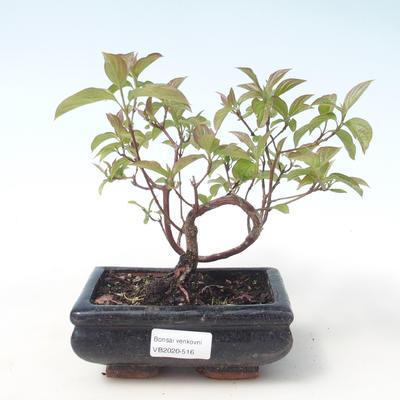 Outdoor bonsai - Dogwood - Cornus mas VB2020-516 - 1
