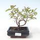Outdoor bonsai - Dogwood - Cornus mas VB2020-516 - 1/2