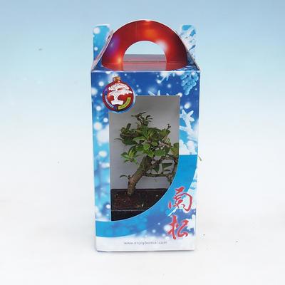 Room bonsai in a gift box - 1