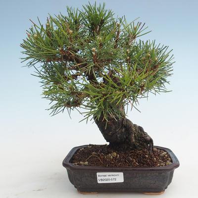Pinus thunbergii - Thunberg Pine VB2020-572 - 1