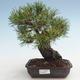 Pinus thunbergii - Thunberg Pine VB2020-572 - 1/5