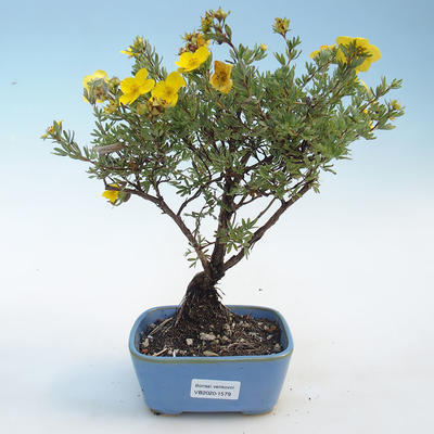 Outdoor bonsai-Cinquefoil - Potentila yellow - 1