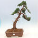 Outdoor bonsai - Juniperus chinensis - Chinese juniper - 1/6