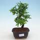 Indoor bonsai - Ulmus parvifolia - Small leaf elm - 1/3