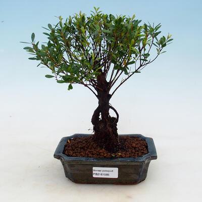 Indoor bonsai - Syzygium - Allspice - 1
