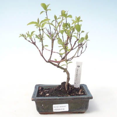 Outdoor bonsai - Dogwood - Cornus mas VB2020-518 - 1