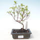 Outdoor bonsai - Dogwood - Cornus mas VB2020-518 - 1/2