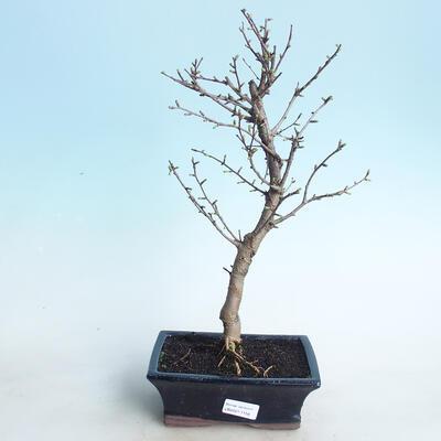 Outdoor bonsai - Pamodřín - 1