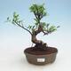 Room bonsai - Ficus kimmen - malolistý ficus - 1/2