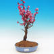 Outdoor bonsai - Japanese apricot - Prunus Mume - 1/5