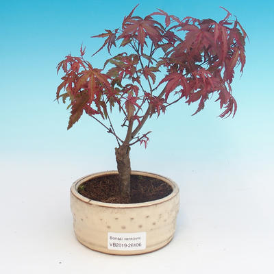 Outdoor bonsai - Palmatum maple DESHOJO - Japanese maple - 1