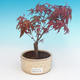 Outdoor bonsai - Palmatum maple DESHOJO - Japanese maple - 1/3