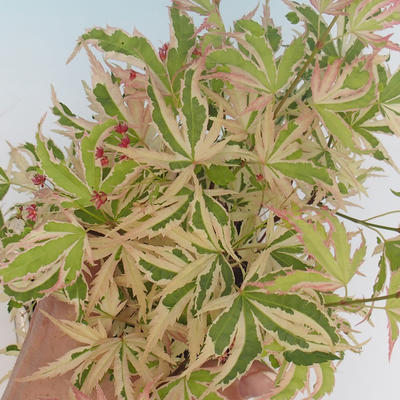 Outdoor bonsai - Japanese maple Acer palmatum Butterfly - 1
