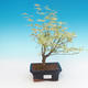 Outdoor bonsai - Japanese maple Acer palmatum Butterfly - 1/2
