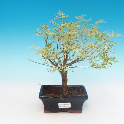Outdoor bonsai - Japanese maple Acer palmatum Butterfly - 1