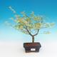 Outdoor bonsai - Japanese maple Acer palmatum Butterfly - 1/2