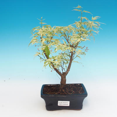 E Bonsai Outdoor Bonsai Japanese Maple Acer Palmatum Butterfly