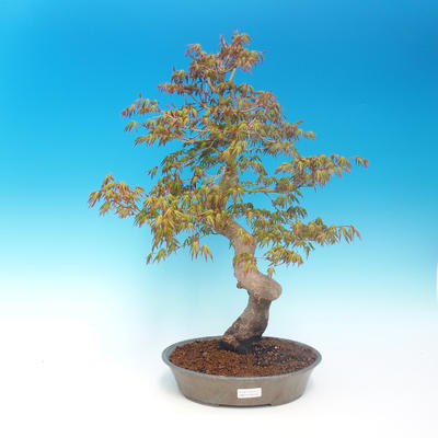 Outdoor bonsai - Acer pamnatum - Japanese maple - 1
