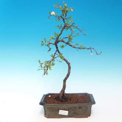 Outdoor bonsai - Prunus spinosa - blackthorn