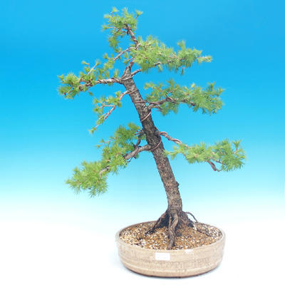 Outdoor bonsai - Larix decidua - Larch deciduous - 1