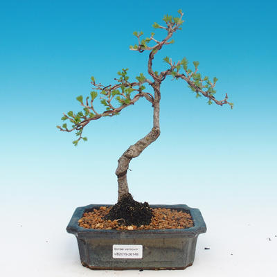 Outdoor bonsai - Larix decidua - Larch deciduous