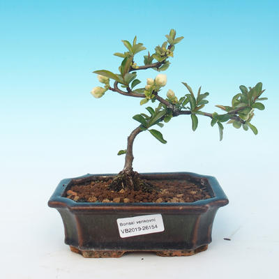 Outdoor bonsai - Chaenomeles superba jet trail - White quince - 1
