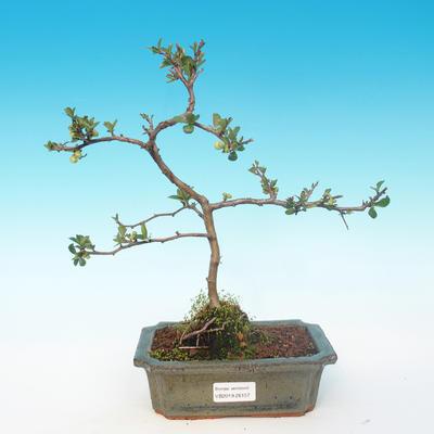 Outdoor bonsai - Chaenomeles superba jet trail - White quince - 1