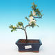 Outdoor bonsai - Chaenomeles superba jet trail - White quince - 1/3