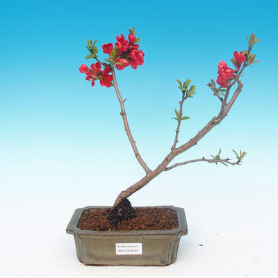 Outdoor bonsai - Chaneomeles japonica - Japanese quince - 1