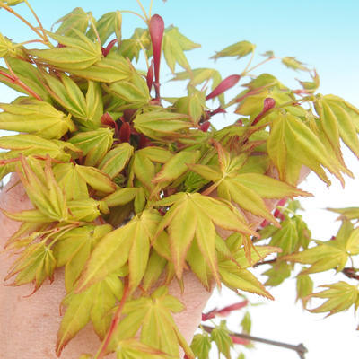 Acer palmatum Aureum - Japanese maple VB2020-469 - 1