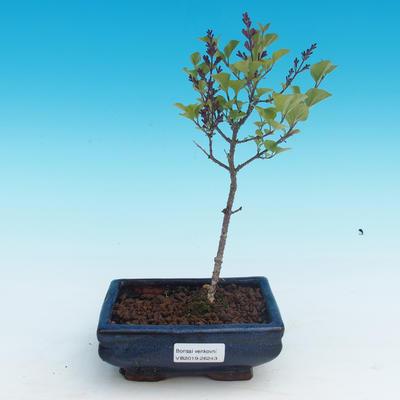 Outdoor bonsai - Syringa velutina josse Pink lilac - 1