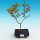 Outdoor bonsai - Syringa velutina josse Pink lilac - 1/2