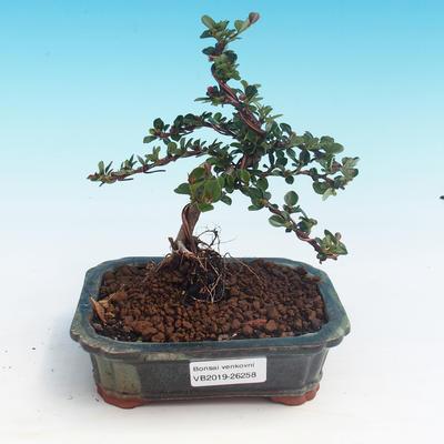 Outdoor bonsai-Cotoneaster horizontalis-Cotoneaster - 1