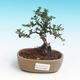 Outdoor bonsai-Cotoneaster horizontalis-Cotoneaster - 1/2