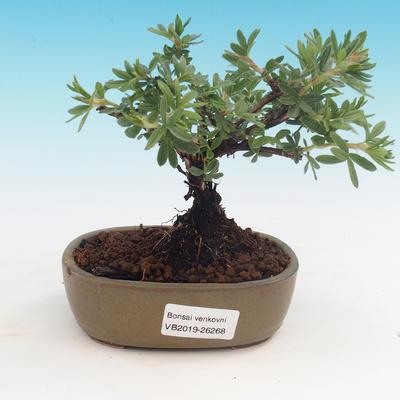 Outdoor bonsai-cinquefoil - Dasiphora fruticosa yellow - 1