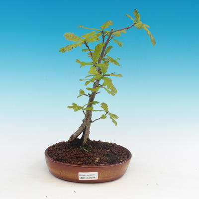 Outdoor bonsai-Quercus robur-Summer oak