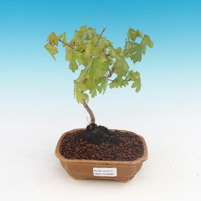 Outdoor bonsai-Acer campestre-maple maple