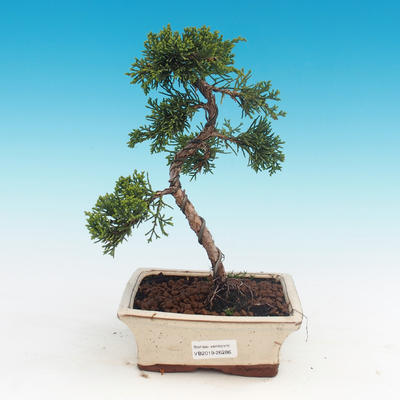 Outdoor bonsai - Juniperus chinensis - Chinese juniper