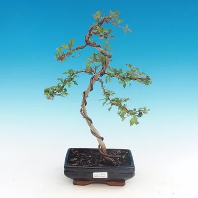 Outdoor bonsai - Single hawthorn